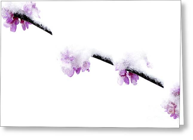 Eastern Redbud With Spring Snow Greeting Card