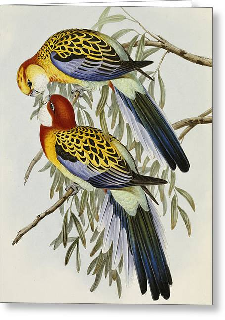 Eastern Rosella Greeting Card by John Gould