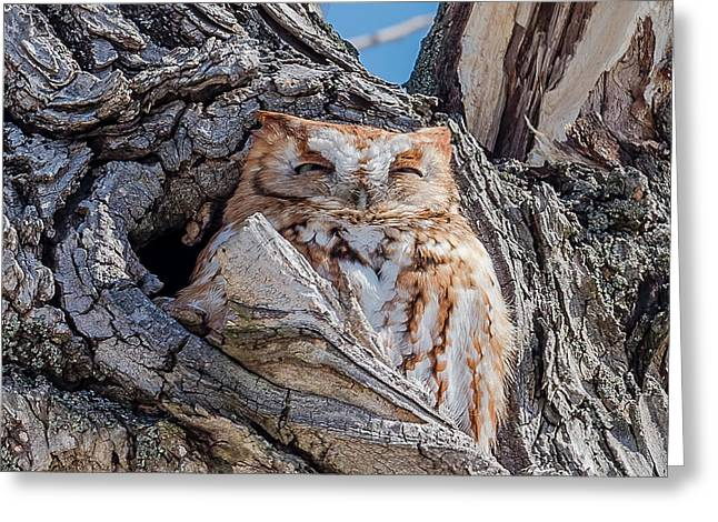 Eastern Screech-owl Roosting Greeting Card