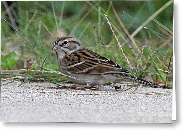 Eastern Song Sparrow  Greeting Card