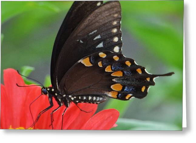 Eastern Swallowtail Greeting Card by Penni D'Aulerio