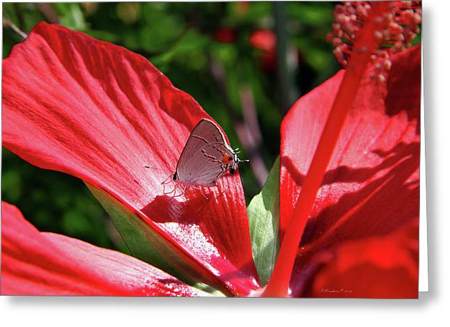 Eastern Tailed Blue Butterfly On Red Flower Greeting Card