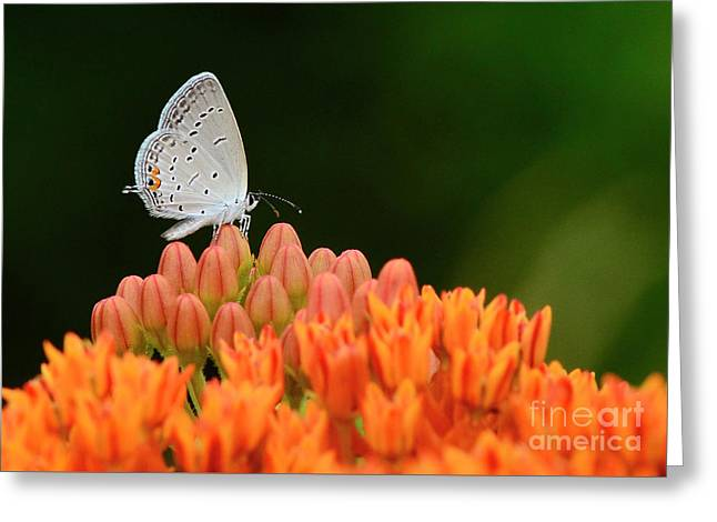Eastern Tailed Blue On Butterfly Weed Greeting Card