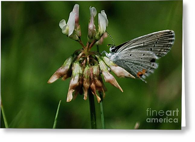 Eastern Tailed-blue Greeting Card
