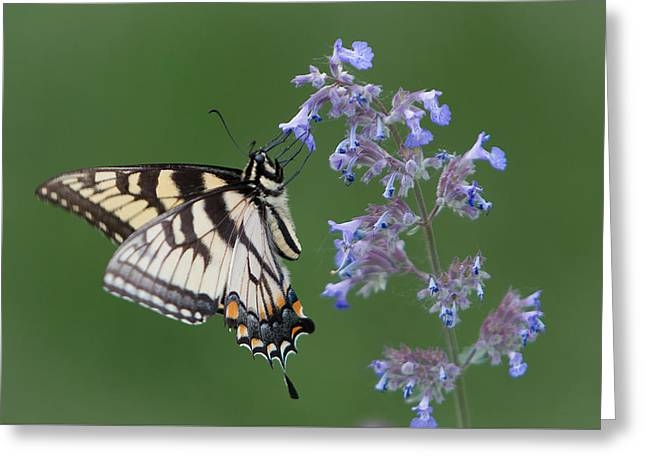 Eastern Tiger Swallowtail Profile Greeting Card by Patti Deters