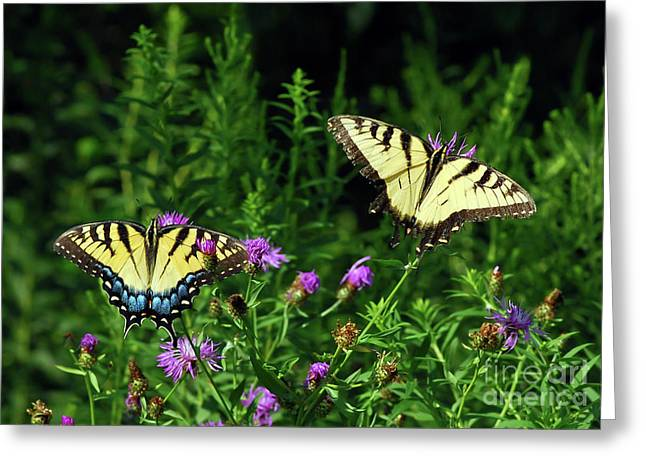 Greeting Card featuring the photograph Eastern Tiger Swallowtail Butterfly - Female And Male  by Kerri Farley