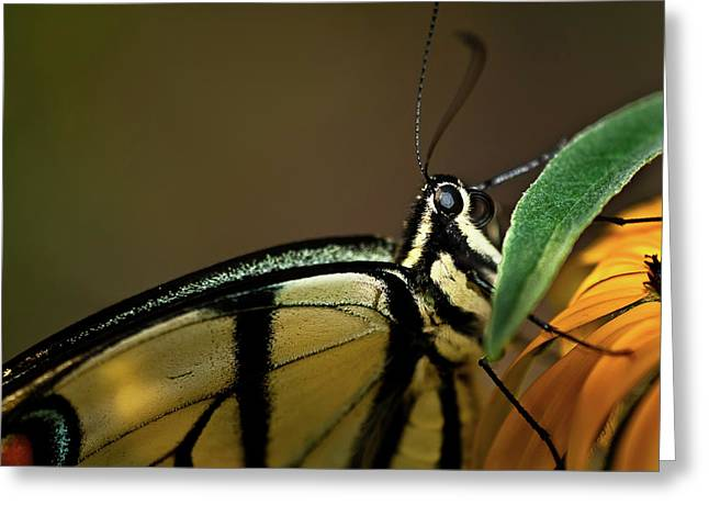Eastern Tiger Swallowtail Butterfly Greeting Card by  Onyonet  Photo Studios