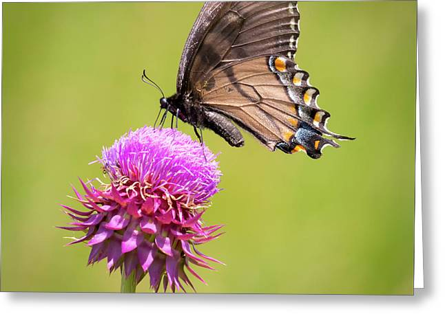 Greeting Card featuring the photograph Eastern Tiger Swallowtail Dark Form  by Ricky L Jones