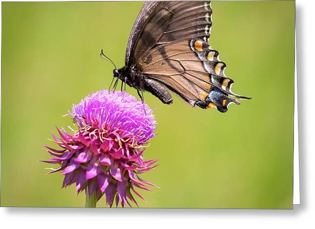 Eastern Tiger Swallowtail Dark Form  Greeting Card