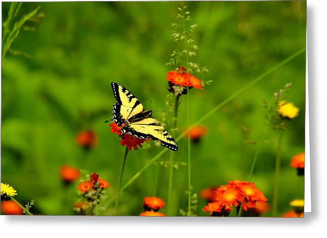Eastern Tiger Swallowtail  Greeting Card