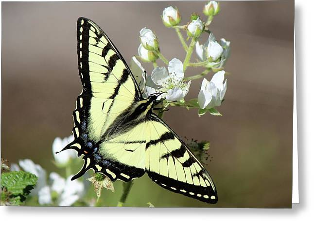 Eastern Tiger Swallowtail Female Greeting Card
