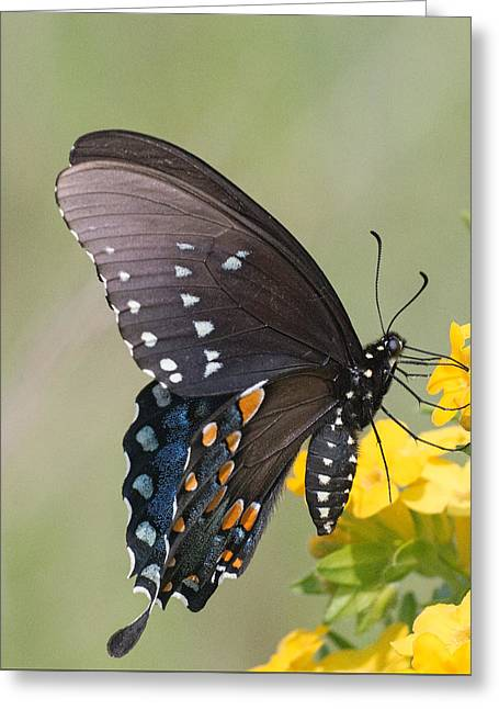 Eastern Tiger Swallowtail Greeting Card by Jim Zablotny