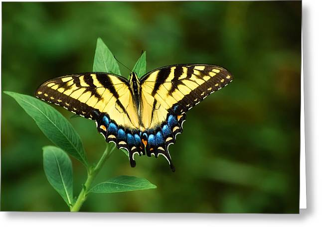 Eastern Tiger Swallowtail Greeting Card by Rich Leighton