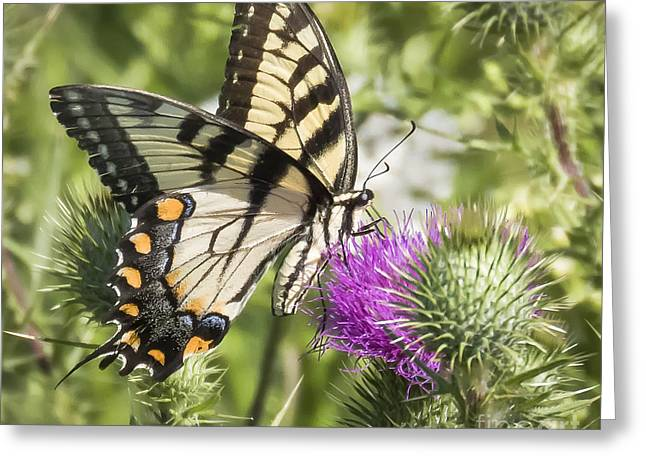 Eastern Tiger Swallowtail Greeting Card by Ricky L Jones