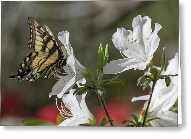 Eastern Tiger Swallowtail Greeting Card by Teresa Mucha