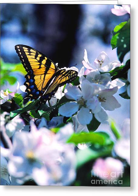 Eastern Tiger Swallowtail Greeting Card by Thomas R Fletcher