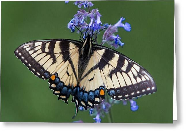 Eastern Tiger Swallowtail Wingspan Greeting Card