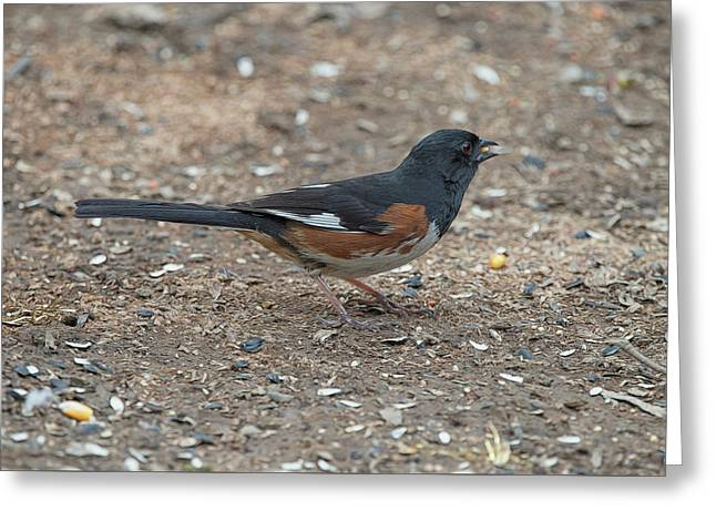 Eastern Towhees Are Birds Of The Undergrowth Greeting Card