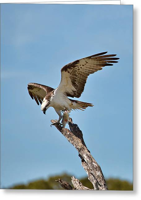 Eating Osprey-1 Greeting Card by Rudy Umans