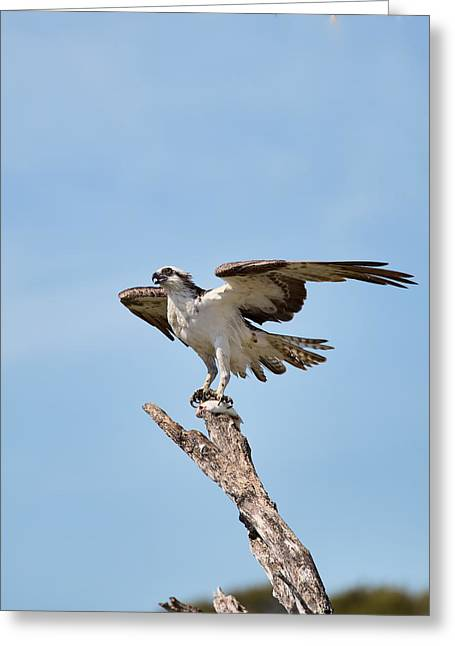 Eating Osprey-2 Greeting Card by Rudy Umans
