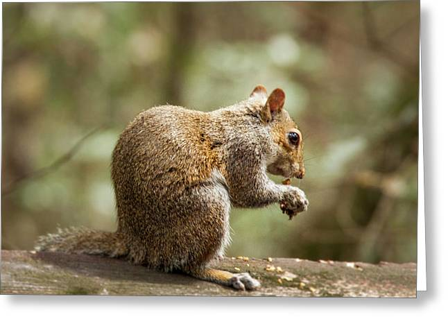 Eating Squirrel Greeting Card by Jean Noren