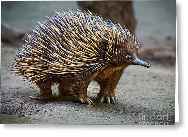 Echidna Standing Proud Greeting Card by Jamie Pham