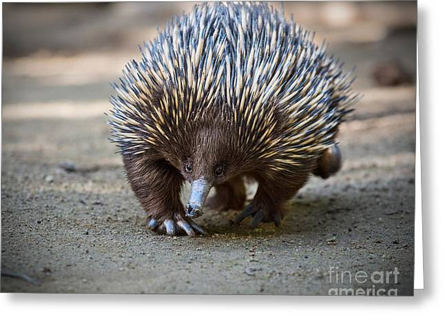 Echidna Waddle Greeting Card by Jamie Pham