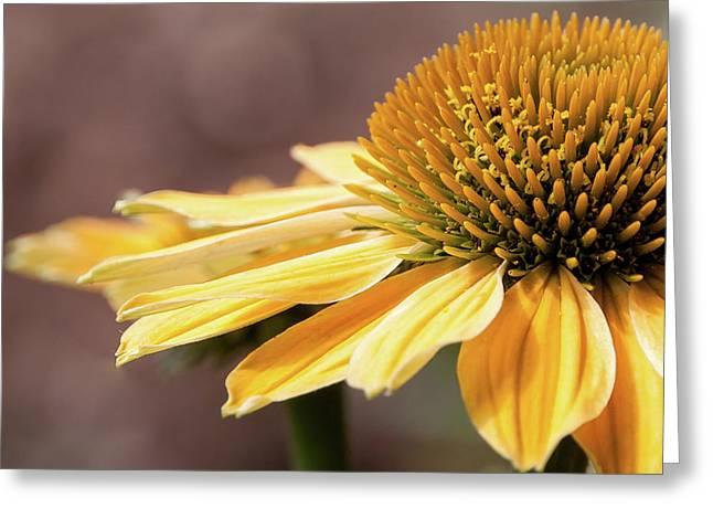 Echinacea, Cheyenne Spirit - Greeting Card