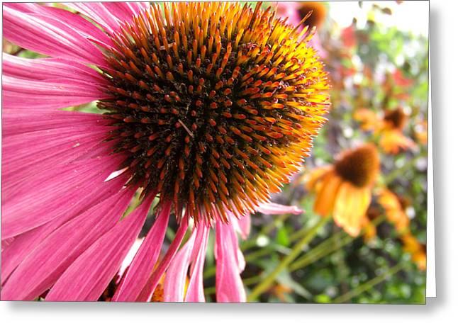 Echinacea Garden Greeting Card by Nicole I Hamilton