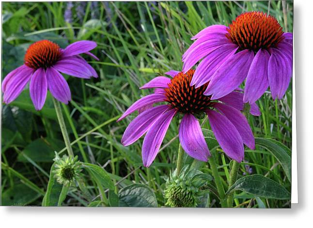 Echinacea Greeting Card by Mikki Cucuzzo
