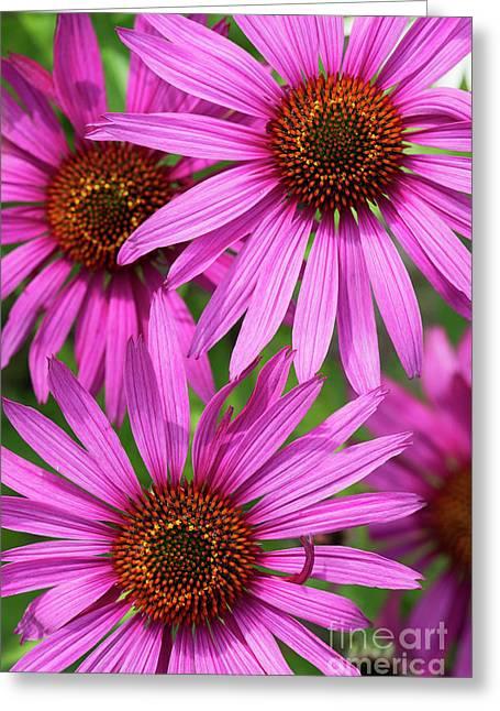 Echinacea Purpurea Rubinstern Flowers  Greeting Card