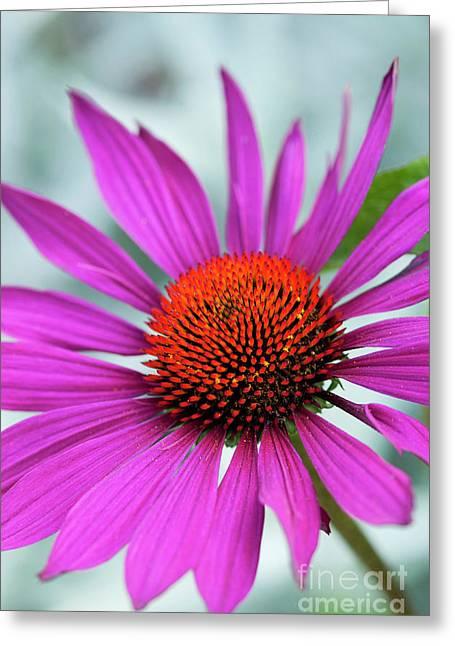 Echinacea Rubinstern Greeting Card
