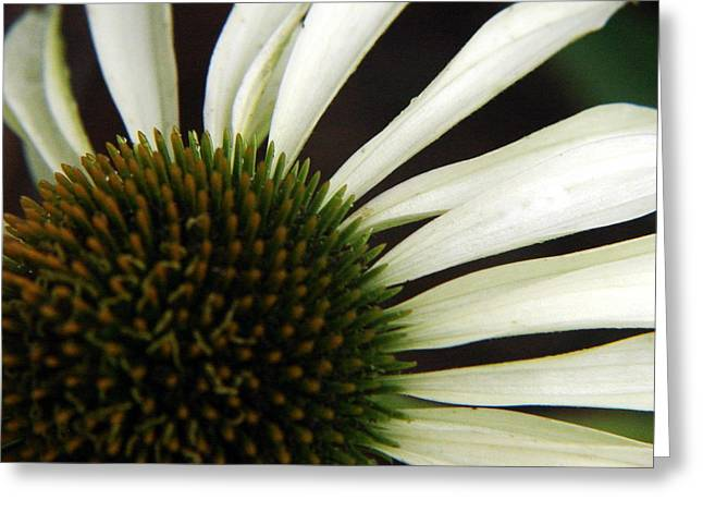 Ligature Greeting Cards - Echinacea Greeting Card by Priscilla Richardson