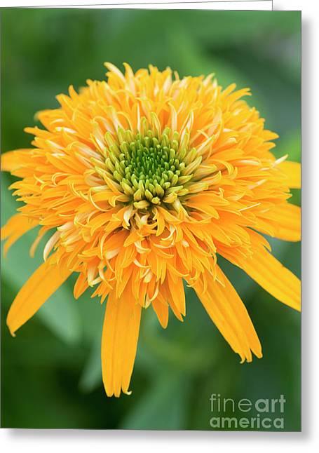 Echinacea Secret Glow  Greeting Card