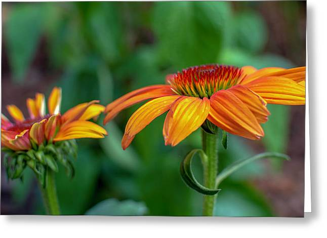 Echinacea Side View Greeting Card
