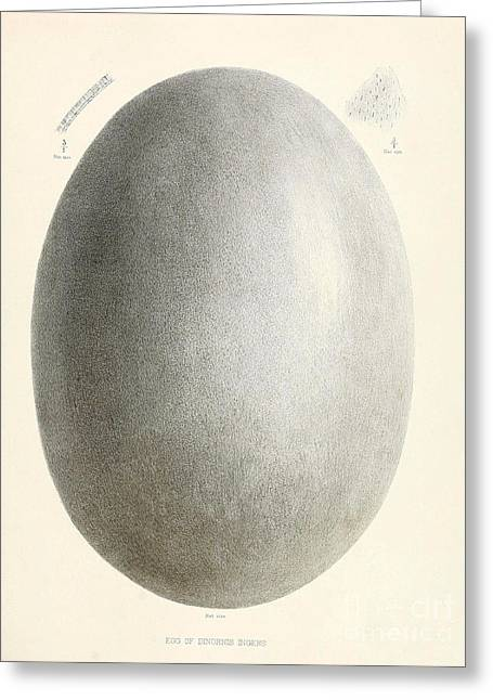 Egg Of Dinornis, Giant Moa, Cenozoic Greeting Card by Biodiversity Heritage Library