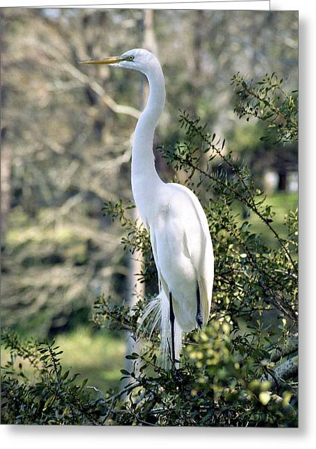 Egret 2 Greeting Card by Michael Peychich