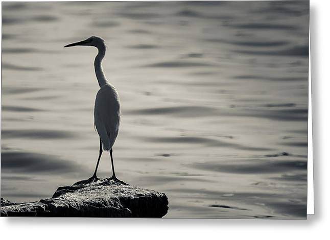 Egret At Lake Chapala Greeting Card by Dane Strom