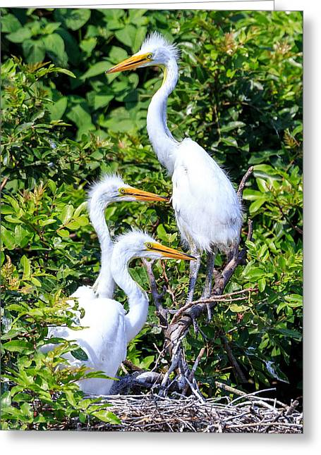 Greeting Card featuring the photograph Egret Babies by Paul Schultz
