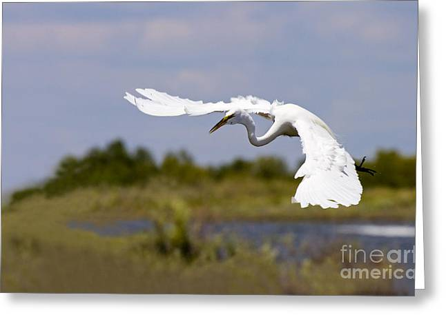 Egrets Greeting Cards - Egret Ballet Greeting Card by Mike  Dawson