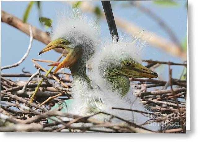 Egret Chicks In Nest With Egg Greeting Card
