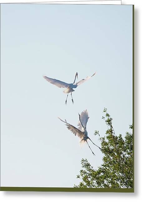 Egret Dance Greeting Card by Catherine Lau
