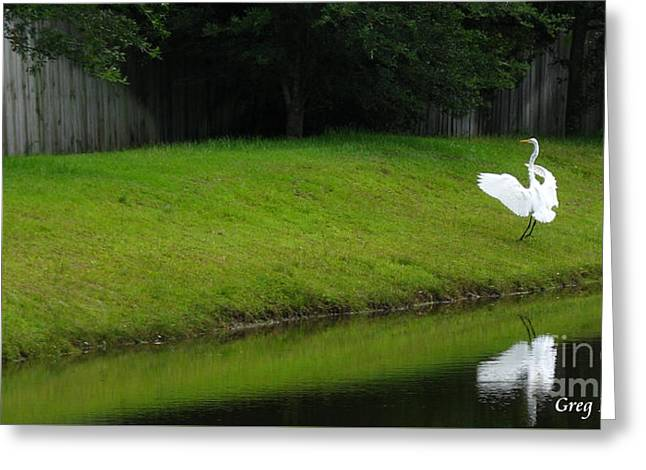 Egret Dance Greeting Card by Greg Patzer