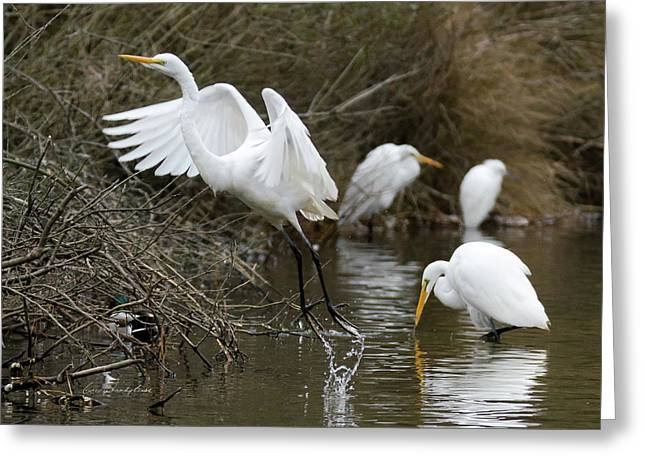 Greeting Card featuring the photograph Egret Exit by George Randy Bass