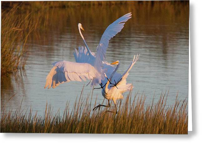 Egret Fight Greeting Card