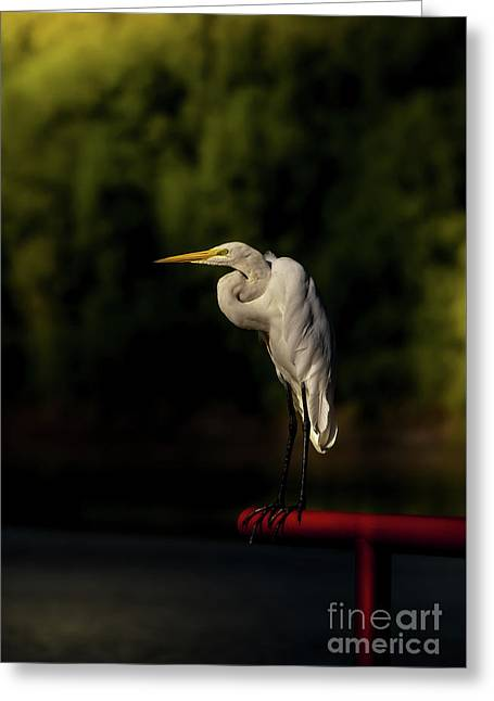 Egret On Deck Rail Greeting Card by Robert Frederick