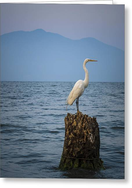 Egret On Tree Stump At Lake Chapala Greeting Card by Dane Strom