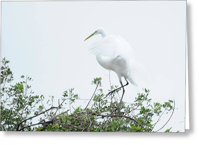 Egret Soft Landing Greeting Card by Keith Lovejoy