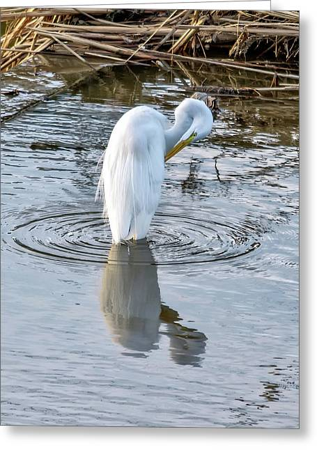 Egret Standing In A Stream Preening Greeting Card