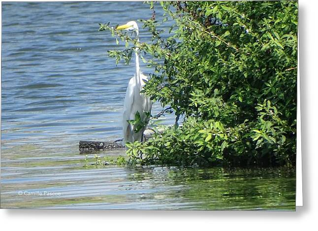 Great Egret In The Marsh Greeting Card